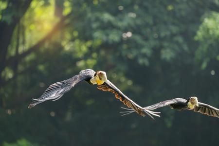 genera: Great hornbill in rainforest Stock Photo
