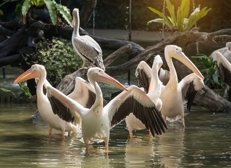 synchronously: White Pelican in zoo