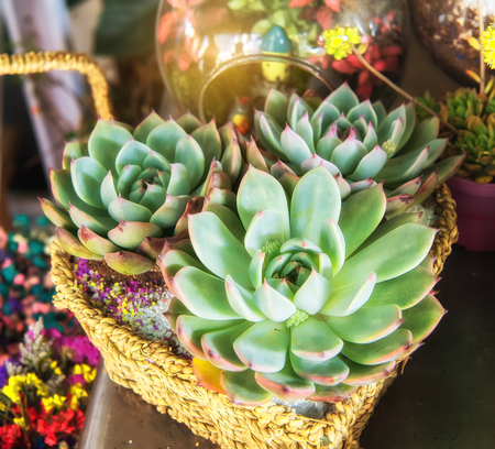 colorful Miniature succulent plants