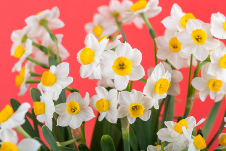 narcissus blooming with red background Stock Photo