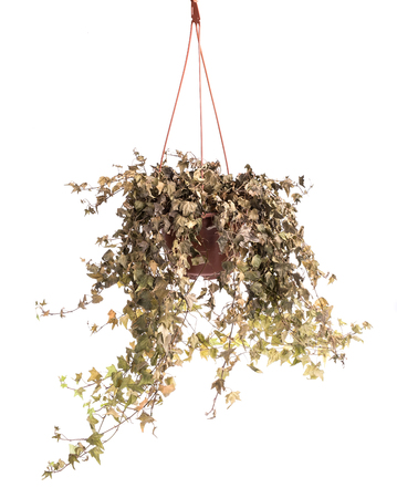 dry withered ivy leaves plants in flower pot Stock Photo