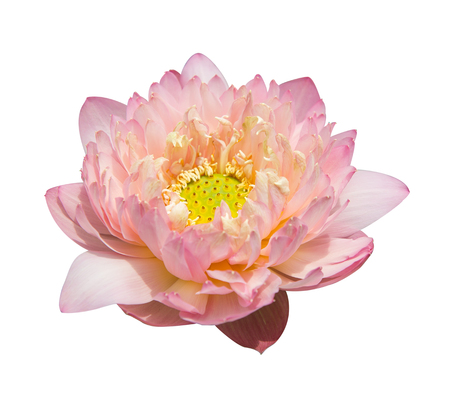lotiform: lotus on isolated white background.