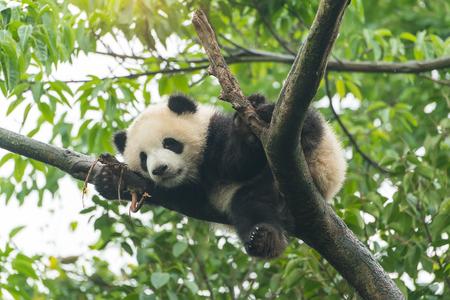 ツリーをジャイアント パンダの赤ちゃん。
