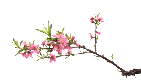 pink blossoms on white background
