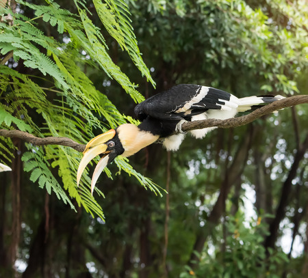 strikingly: Great pied hornbill in the rain forest