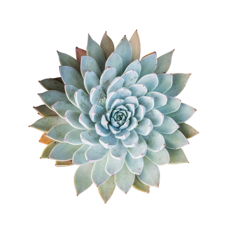 pollitos: succulent plant isolated on white