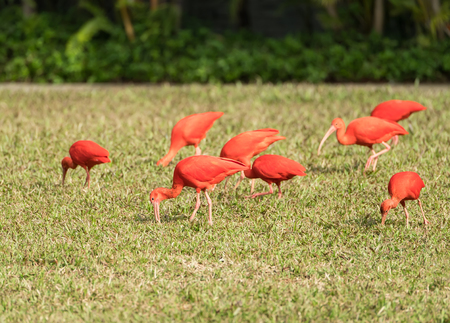 wingspan: Exotic red-orange bird in the nature. Wildlife. Bright ibis - the national bird of Trinidad and Tobago