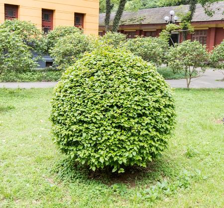 green coniferous shrubs shorn by round shape Stok Fotoğraf