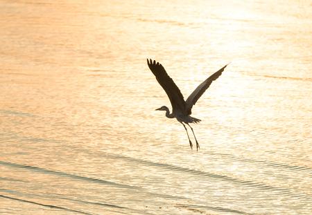 gray herons: Portrait of natural grey heron