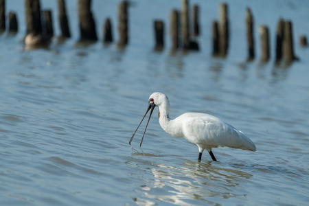 Black-faced Spoonbill in waterland Stock Photo