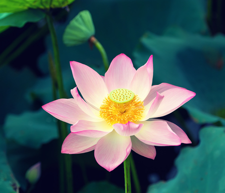 Lotus flower in pond stock photo picture and royalty free image lotus flower in pond stock photo 82152849 mightylinksfo