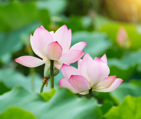 Lotus flower in pond stock photo picture and royalty free image lotus flower in pond stock photo 82167057 mightylinksfo