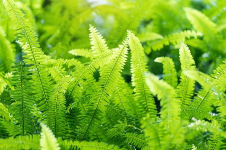 Green bracken lush fern growing