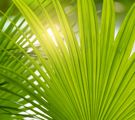 Borassus flabellifer,Sugar palm, Cambodian palm isolated on white background Stock Photo