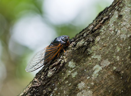 exemplar: Cicada isolated on tree background