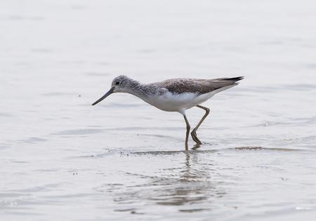 Sandpiper bird walking along a sandy beach
