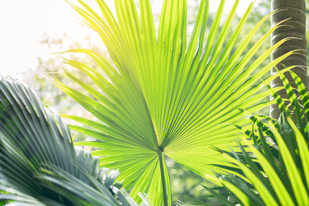 Borassus flabellifer,Sugar palm, Cambodian palm isolated on white background Stock Photo