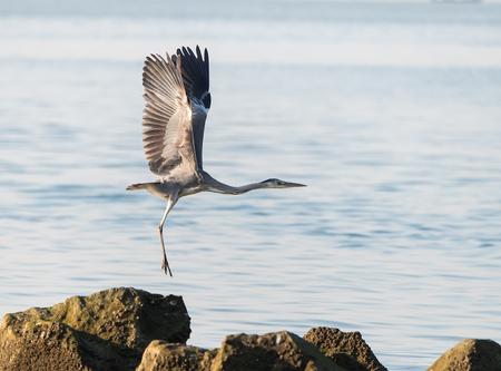 Portrait of natural grey herons