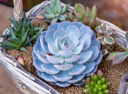 Rectangular arrangement of succulents; cactus succulents in a planter Stock Photo
