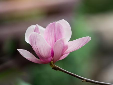 pink magnolia flower in garden