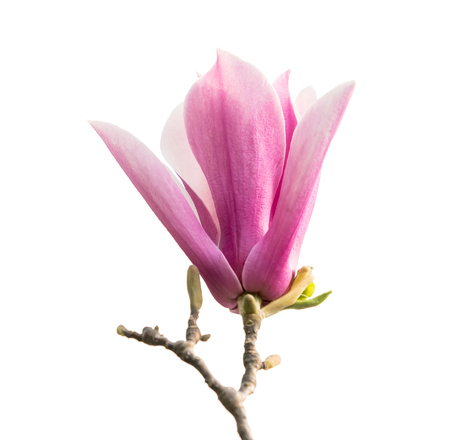 magnolia flower spring branch isolated on white background