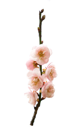 plum blooming flowers isolated on white background Stock Photo