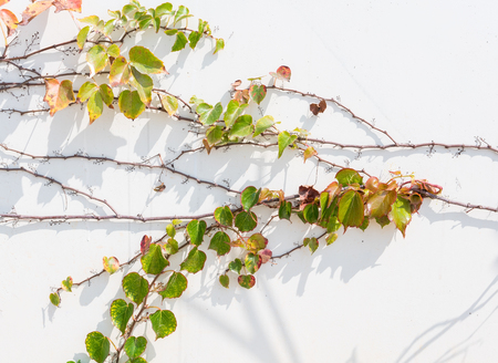 Ivy leaves isolated on white. Stock Photo