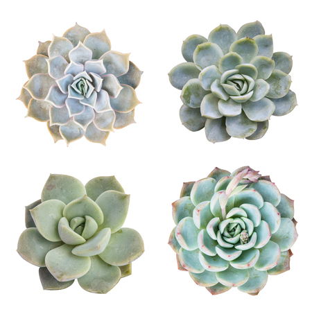 miniature succulent top isolated on white background Stock Photo