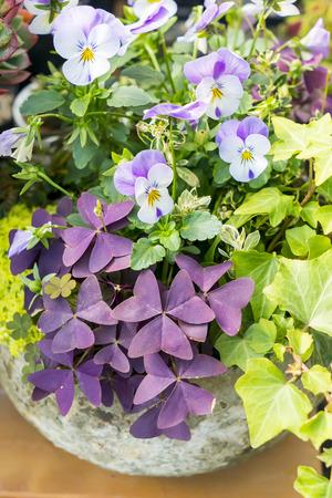 Purple Shamrock in the Garden 版權商用圖片
