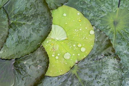 water drop on lotus leaf and background