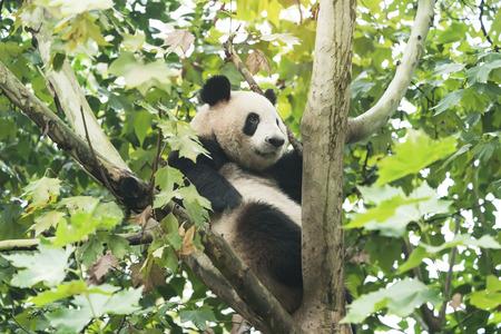 Giant panda on the tree. Stock Photo
