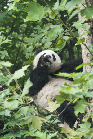 Giant panda on the tree. 免版税图像