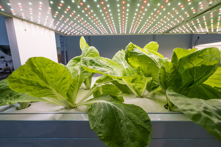 Greenhouse Vegetables Plant row Grow with Led Light Indoor Farm Agriculture Technology Stock Photo