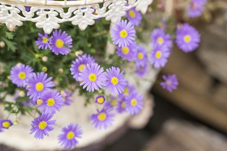Purple flowers of daisy blossom growing in garden