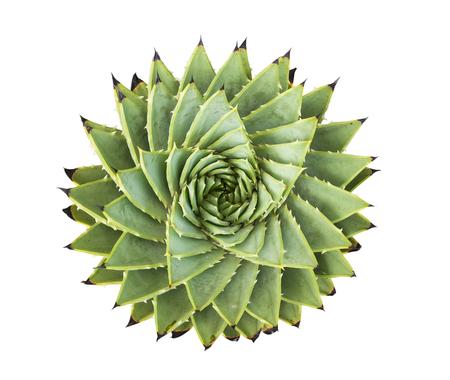 Spiral Aloe.Aloe polyphylla isolated on white background 免版税图像 - 117971604