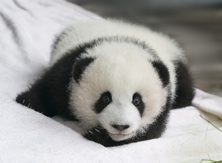 Baby of Giant Panda rests