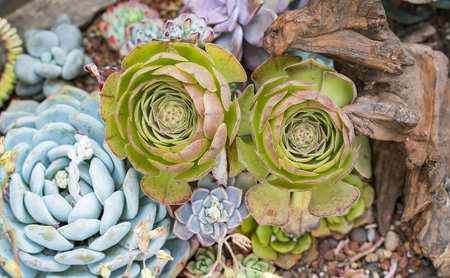 Miniature succulent plants in garden Stock Photo