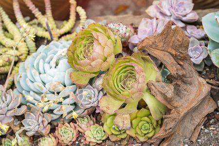Miniature succulent plants in garden 写真素材