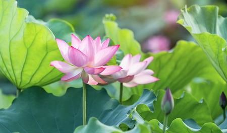 blooming lotus flower in garden pond