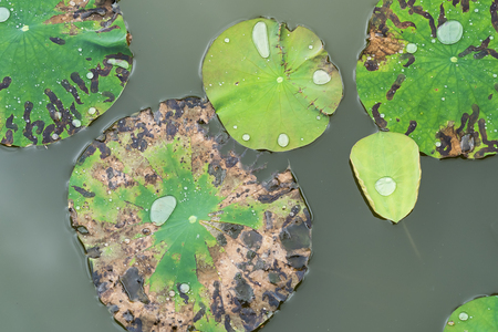 lotus leaf background with water drops