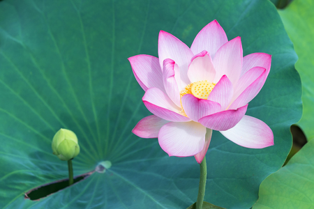 pink lotus flower plants blooming 版權商用圖片
