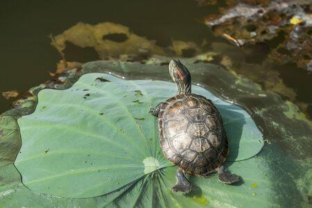 turtle resting on the lotus leaves 版權商用圖片
