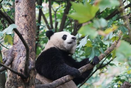 Giant panda over the tree. Stock Photo