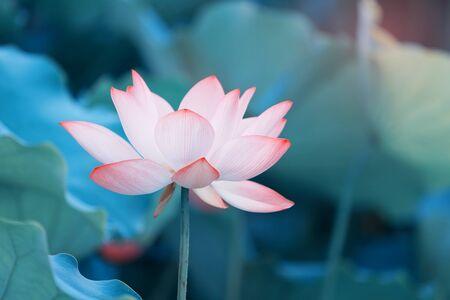 Fleur de lotus et plantes de fleur de lotus Banque d'images