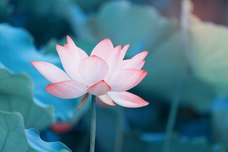 Lotus flower and Lotus flower plants Imagens