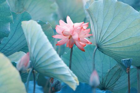 Lotus flower and Lotus flower plants Stok Fotoğraf