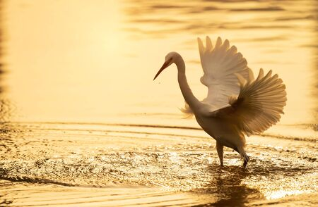Snowy Egret Wading in shallow edge of lake looking for fish in sunset