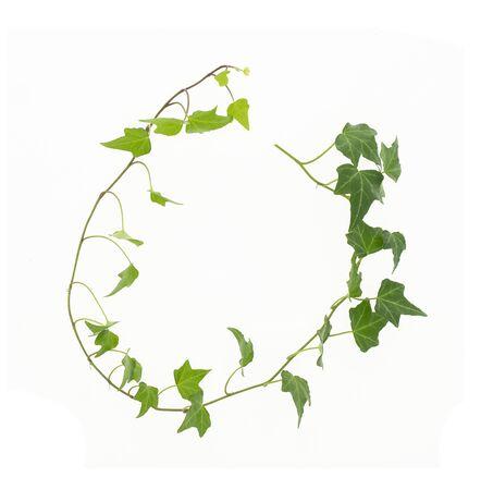 Efeu isoliert auf weißem Hintergrund, natürliche grüne Textur