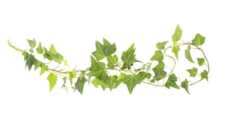ivy isolated on white background,Natural green texture
