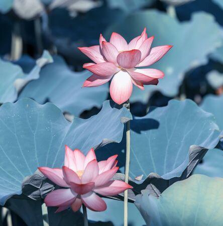 Lotus flower and Lotus flower plants Foto de archivo